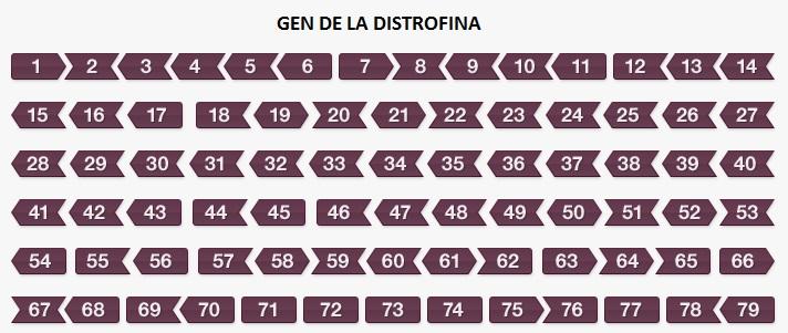 GEN-DE-LA-DISTROFINA